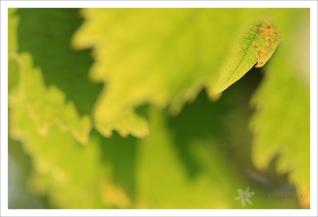Vine-Leaves-II