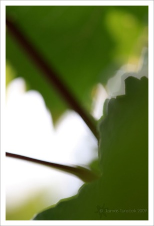 Vine-Leaves-III