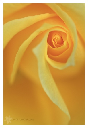 Yellow-Rose-I